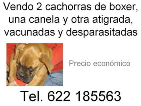 Anuncio de venta de dos cachorros de boxer