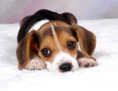 cachorro_beagle_0