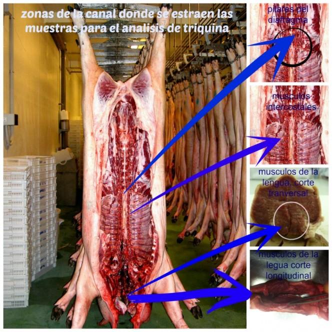 sitios donde se deben de recoger las muestras de cerdo y jabalí para su analisis